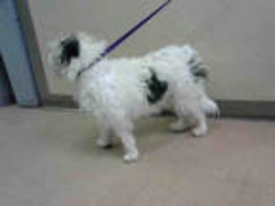 Adopt PAW PAW a White - with Gray or Silver Lhasa Apso / Mixed dog in San Jose