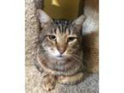Adopt Michael a Gray, Blue or Silver Tabby Domestic Shorthair / Mixed (short