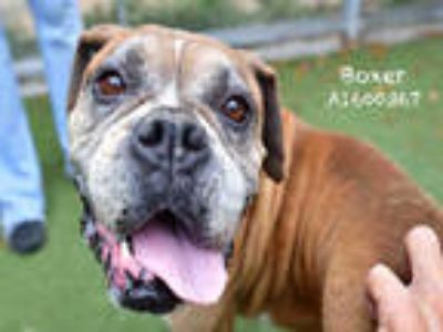 Adopt BOXER a Brown/Chocolate - with White Boxer / Mixed dog in Los Angeles