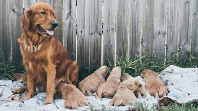Golden Retriever PUPPY FOR SALE ADN-97064 - Male Golden Retriever Puppies