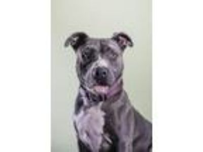 Adopt Bobbi a Brown/Chocolate - with White American Pit Bull Terrier / Mixed dog