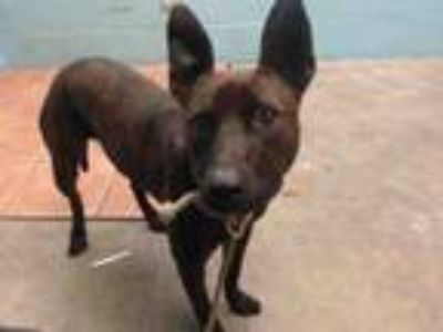 Adopt CHLOE a Belgian Shepherd / Malinois, Mixed Breed