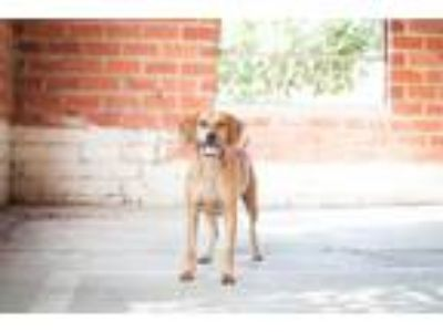 Adopt Lolly a Red/Golden/Orange/Chestnut - with Black Coonhound / Mixed dog in