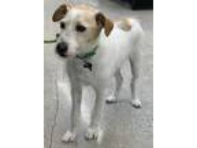 Adopt Lightening a White - with Brown or Chocolate Jack Russell Terrier / Mixed