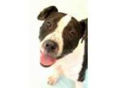 Adopt LICORICE a Black - with White American Pit Bull Terrier / Mixed dog in