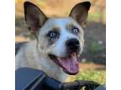 Adopt Ozzy a Australian Shepherd / Labrador Retriever / Mixed dog in Pleasant