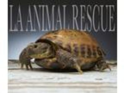 Adopt Flash a Tortoise reptile, amphibian, and/or fish in Los Angeles