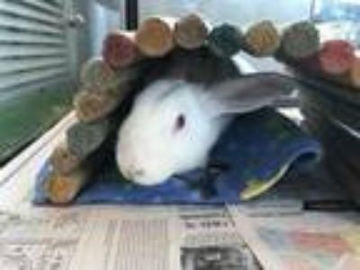 Adopt Nathan a White Other/Unknown / Other/Unknown / Mixed rabbit in New
