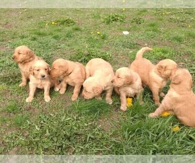 Golden Retriever PUPPY FOR SALE ADN-127729 - Golden puppies looking for furrever families