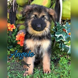 German Shepherd Dog PUPPY FOR SALE ADN-102253 - Angelo AKC Long Coat German Shepherd puppy