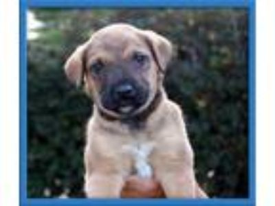 Adopt Harley, AKA Taco a German Shepherd Dog, Labrador Retriever
