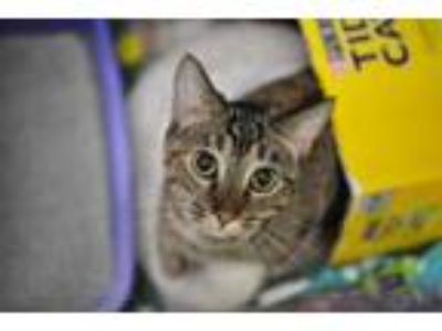Adopt Kitty Kat a Brown or Chocolate Domestic Shorthair / Domestic Shorthair /