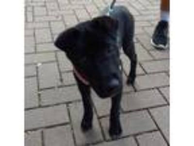 Adopt DEENA a Black Labrador Retriever / Mixed dog in Austin, TX (25343663)