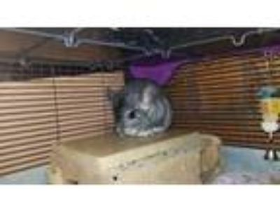 Adopt Nibbles a Chinchilla