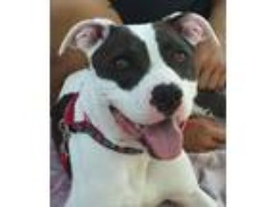 Adopt Lindy a Pit Bull Terrier