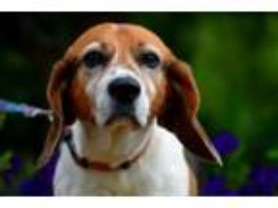 Adopt Sampson a Beagle