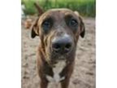 Adopt Woody a Labrador Retriever