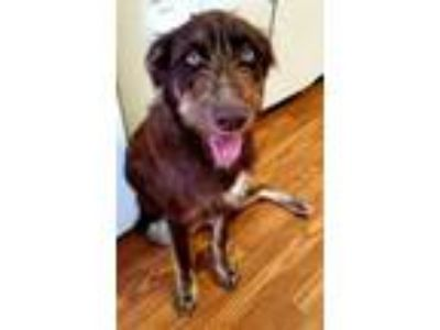 Adopt Howie a Brown/Chocolate German Wirehaired Pointer / Mixed dog in
