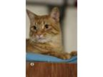 Adopt John Wayne a Domestic Short Hair