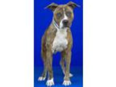 Adopt Goku a Brown/Chocolate American Pit Bull Terrier / Mixed dog in Ferriday