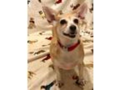 Adopt Goldie a Red/Golden/Orange/Chestnut Toy Fox Terrier / Pomeranian / Mixed