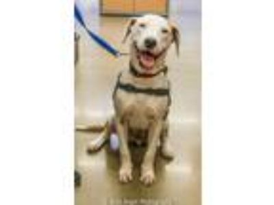 Adopt Duke Needs A Foster Home (See Video) a Great Dane, Pointer
