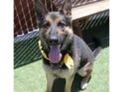 Adopt Harvey 25419 a German Shepherd Dog