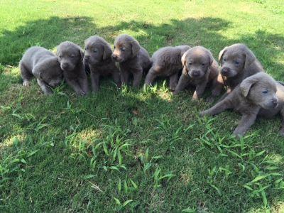 Labrador Retriever PUPPY FOR SALE ADN-53636 - AKC Silver Lab Puppies