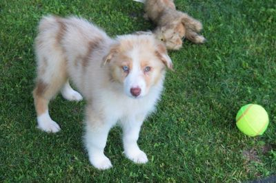 AKC Australian Shepherd Puppies-Blue & Bi-Eyed Male & Female