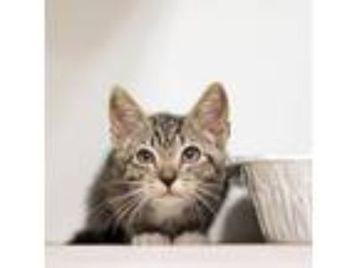 Adopt Drax a Gray or Blue Domestic Shorthair / Domestic Shorthair / Mixed cat in