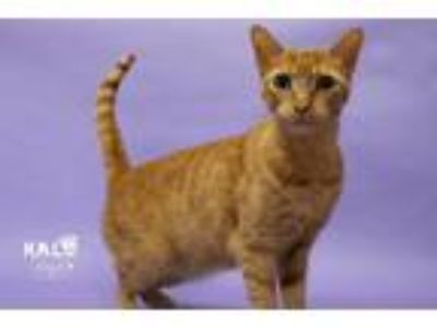 Adopt Riko a Domestic Shorthair / Mixed (short coat) cat in Sebastian