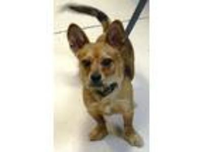 Adopt Cooper a Brown/Chocolate - with Black Dachshund / Wirehaired Fox Terrier /