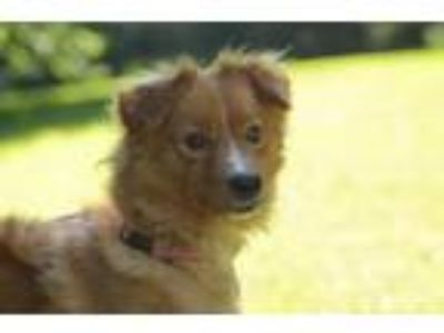 Adopt Andrew (Andy) a Red/Golden/Orange/Chestnut Terrier (Unknown Type