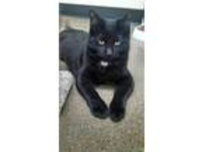 Adopt Winnie a Black (Mostly) Domestic Shorthair (short coat) cat in St Paul