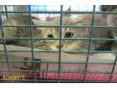Adopt CAMI a Gray or Blue (Mostly) Domestic Shorthair / Mixed (short coat) cat