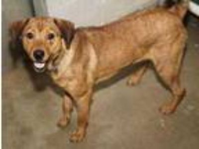Adopt Beau a Red/Golden/Orange/Chestnut Shepherd (Unknown Type) / Mixed dog in