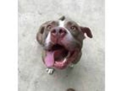 Adopt Polo a Gray/Blue/Silver/Salt & Pepper American Pit Bull Terrier / Mixed