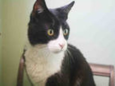 Adopt *GRADY a Black & White or Tuxedo Domestic Shorthair / Mixed (short coat)