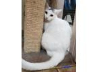 Adopt Candi a Domestic Short Hair