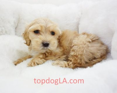 Cockapoo Puppy - Male – Biscuit ($1,299)