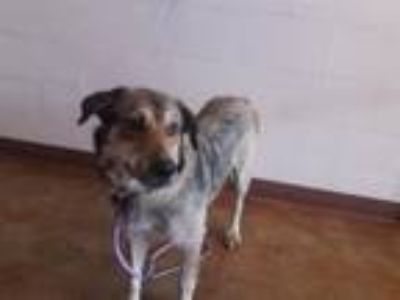 Adopt TALLAHASSEE a German Shepherd Dog, Mixed Breed