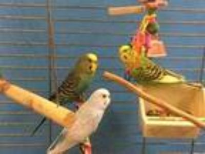 Adopt Lemon a Blue Parakeet - Other / Parakeet - Other / Mixed bird in St.