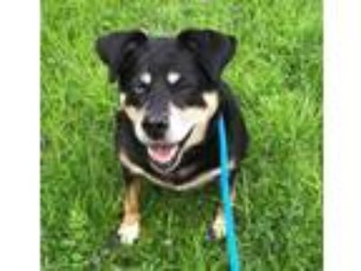 Adopt Violet a Black - with Tan, Yellow or Fawn Rottweiler / Mixed dog in