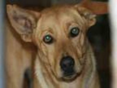 Adopt Wishbone a Labrador Retriever, German Shepherd Dog