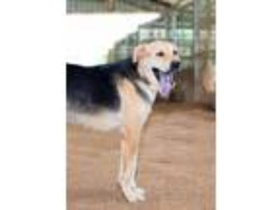 Adopt Teddy a Shepherd, Labrador Retriever