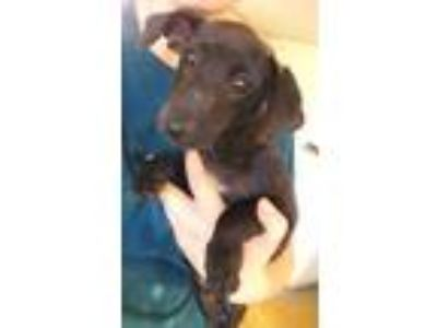 Adopt Heinz a Black Dachshund / Mixed dog in Brownwood, TX (25546754)
