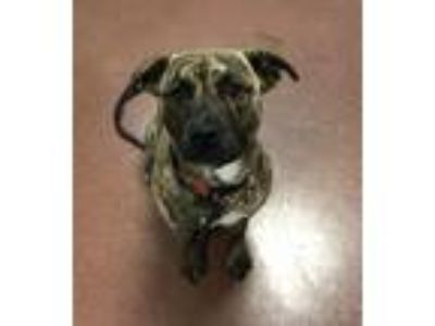 Adopt Ava a Shepherd (Unknown Type) / American Pit Bull Terrier / Mixed dog in