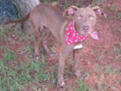 Adopt a Brown/Chocolate Hound (Unknown Type) / American Pit Bull Terrier / Mixed