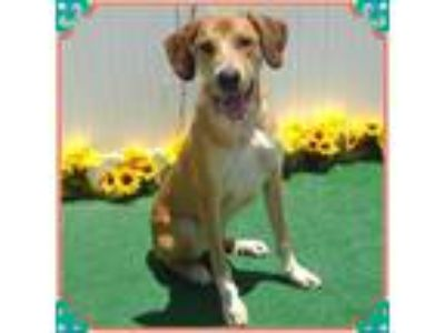 Adopt TUCKER a Tan/Yellow/Fawn Hound (Unknown Type) / Mixed dog in Marietta