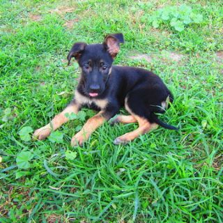 German Shepherd Dog PUPPY FOR SALE ADN-95252 - German Shepherd Pup